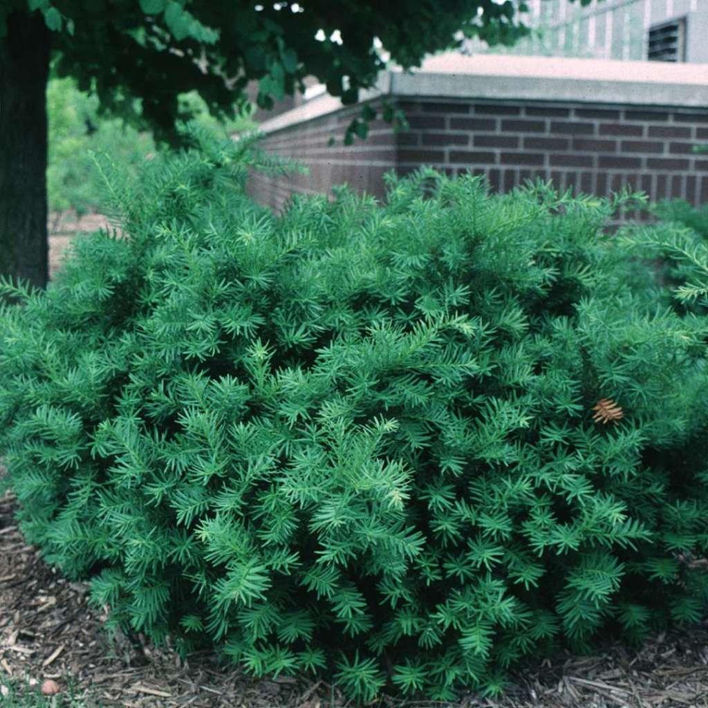 Taxus × media 'Densiformis' sans fruits.