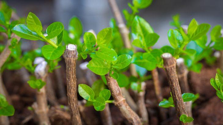 Boutures qui produisent de nouvelles feuilles.