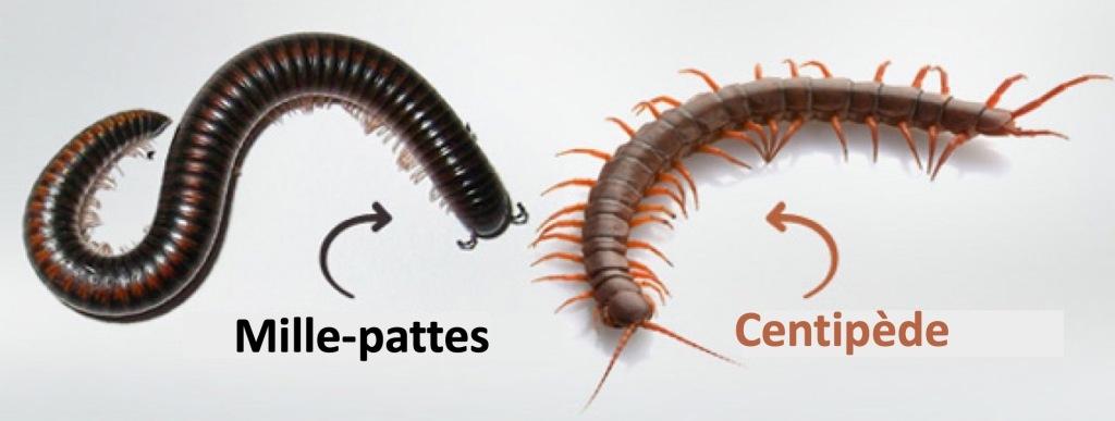 Mille-pattes comparé à un centipède