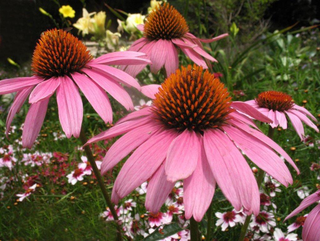 Fleurs de Echinacea purpurea