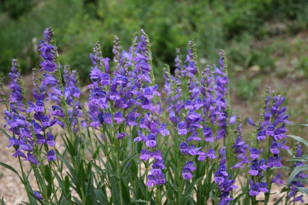 Fleurs de Penstemon strictus