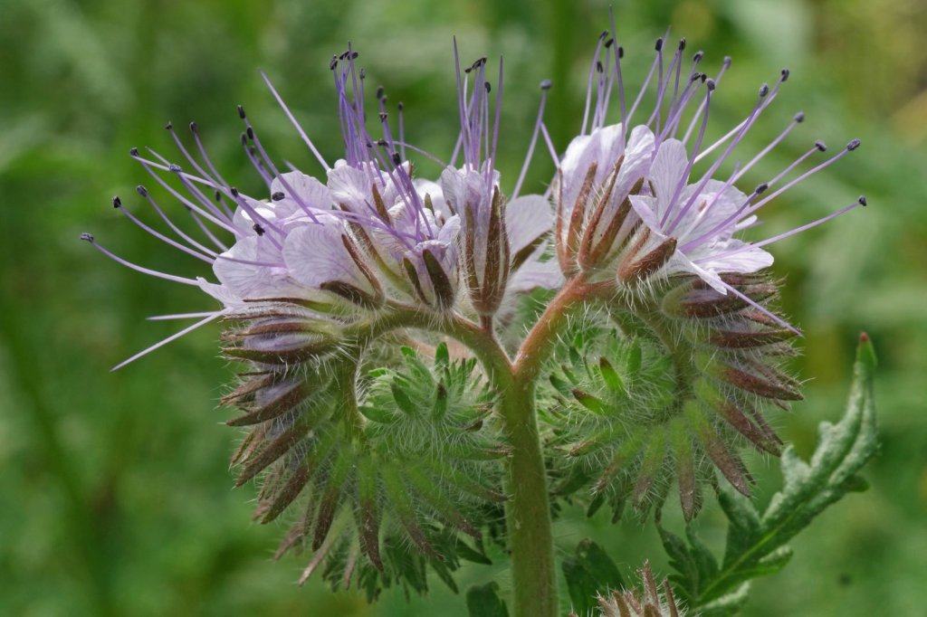 fleurs de Phacelia tanacetifolia