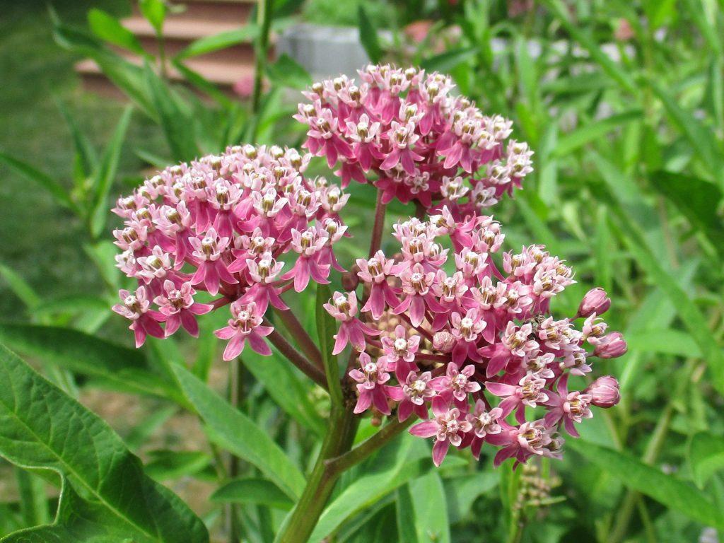 Fleurs de Asclepias incarnata