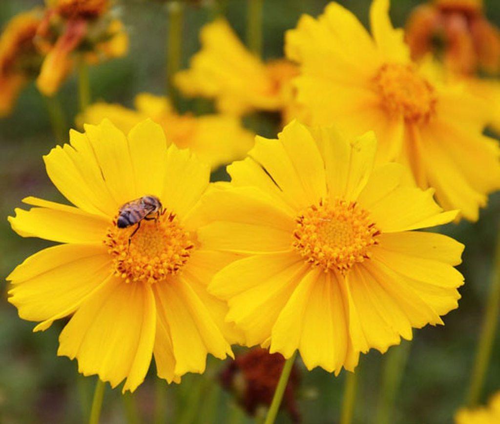 Coreopsis lanceolata en fleurs