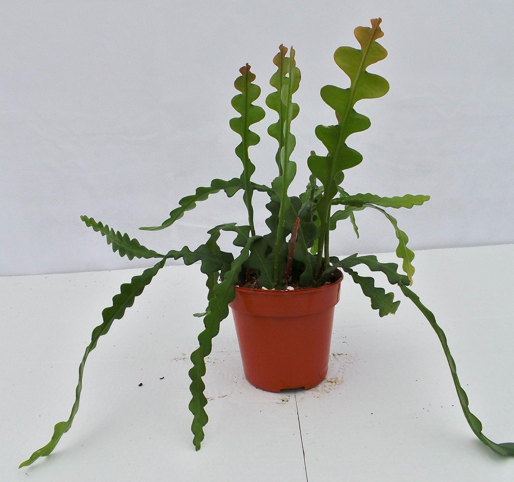 Cactus zigzag avec tiges que commencent à s'arquer.