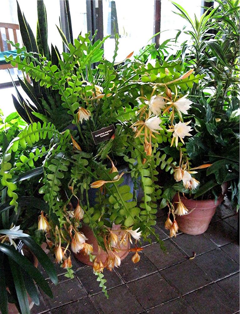 Cactus zigzag avec de multiples fleurs