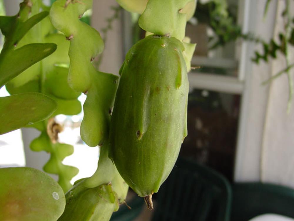 Fruit du Cactus zigzag sur la plante