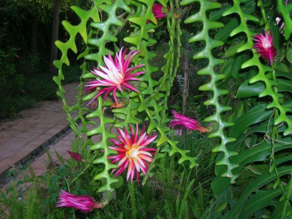 Cactus prête de poisson en fleurs.