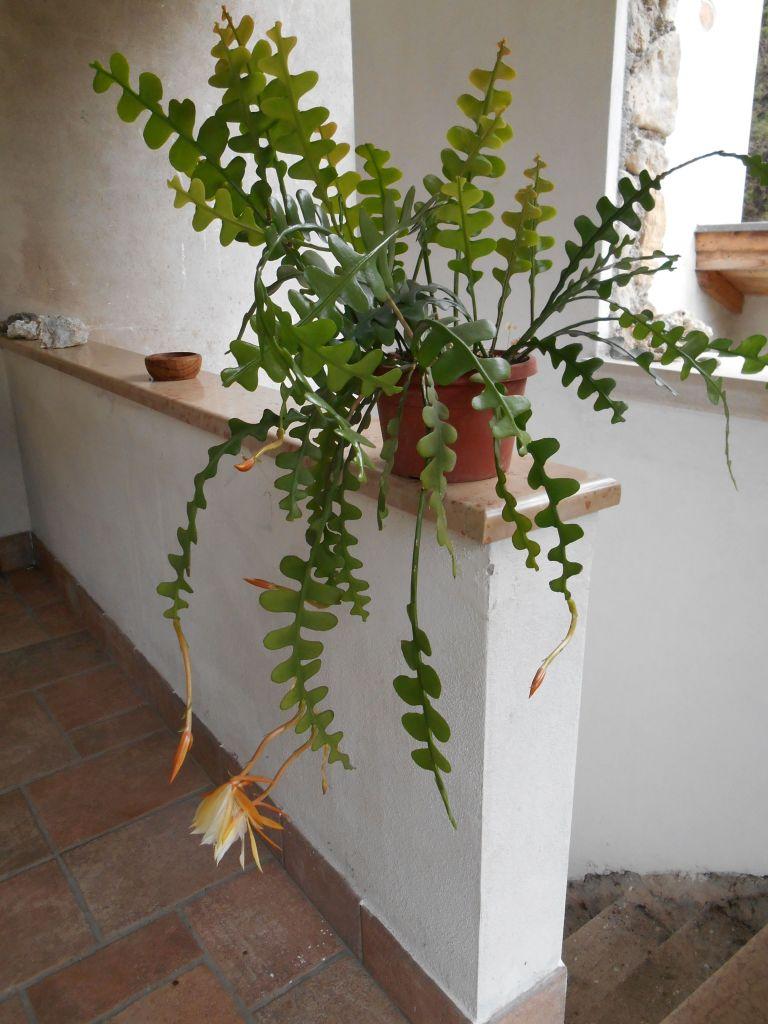 Cactus zigzag dans un appartement.