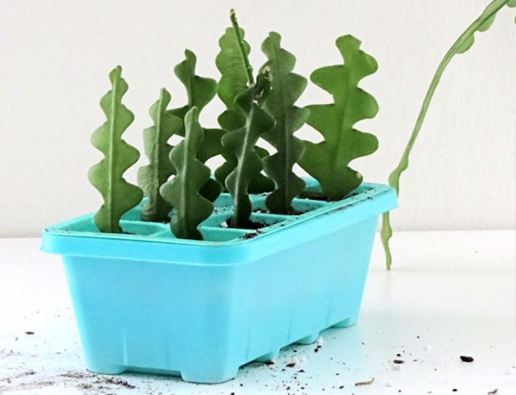 Boutures de cactus zigzag dans un petit bac