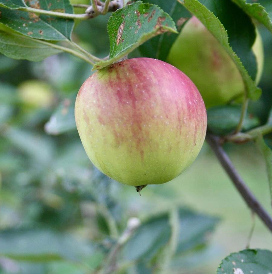 Pomme dans un pommier.
