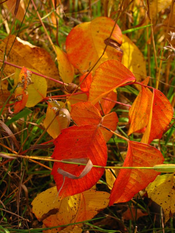 Herbe à la puce (Toxicodendron radicans) aux feuilles orange