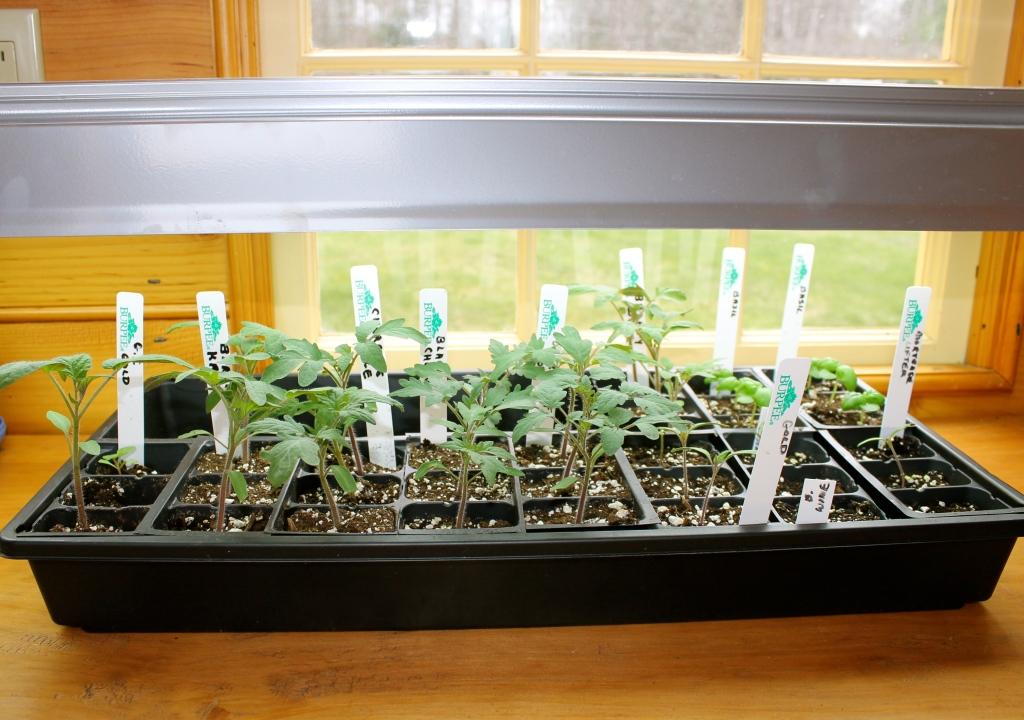 Semis sous une lampe fluorescente près d'une fenêtre