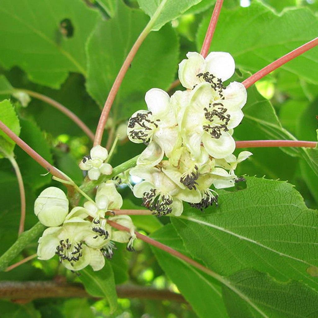 Fleurs du kiwi rustique