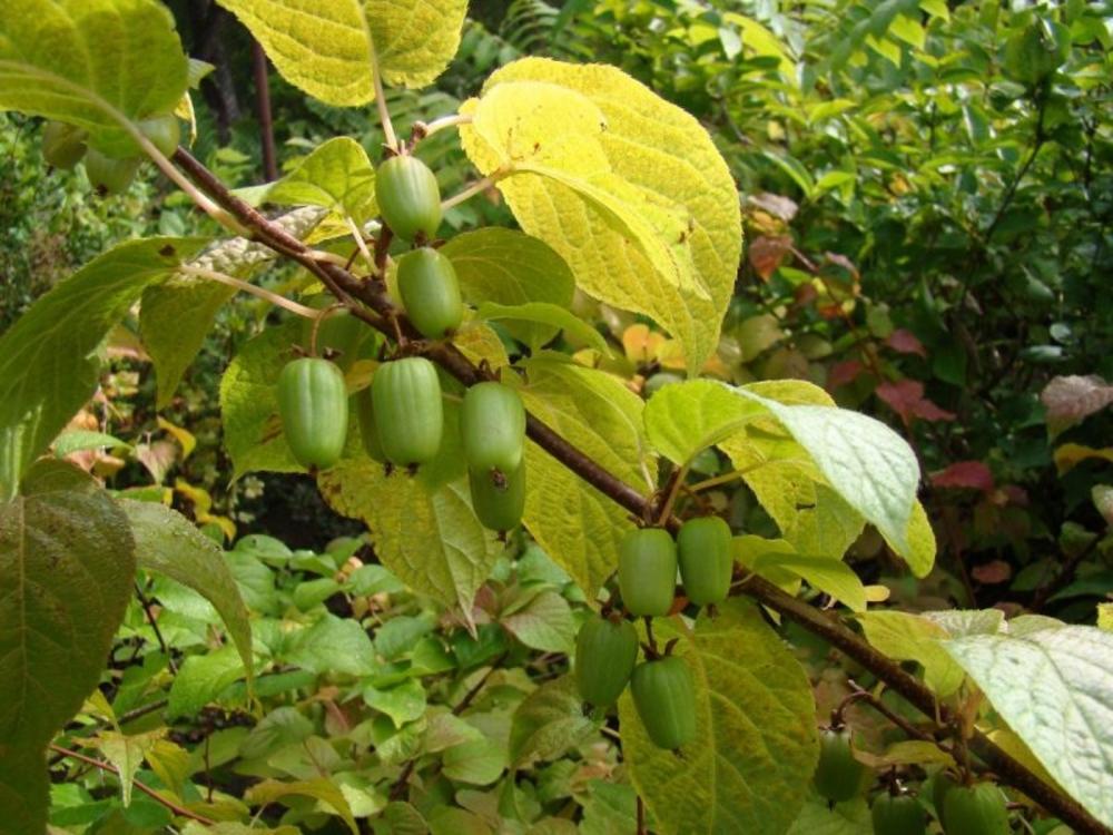 Fruits du kiwi arctique 'Aromatnaya'