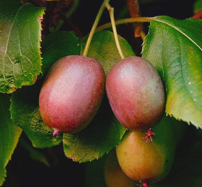 Fruits du kiwi rustique 'Geneva', un peu rouges