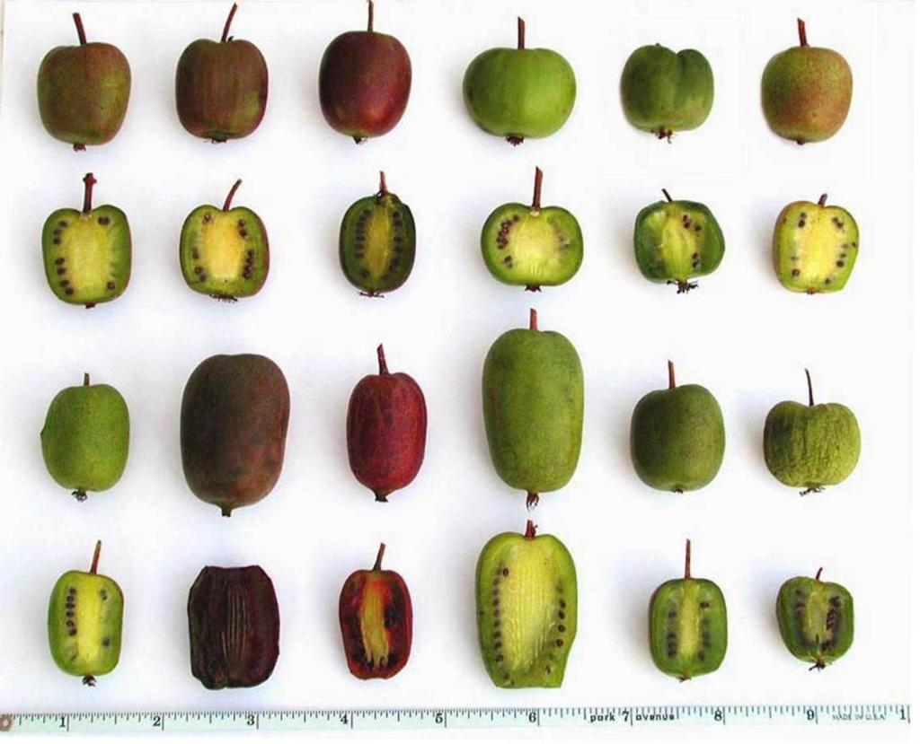 Plusieurs formes et couleurs de fruit du kiwi rustique.