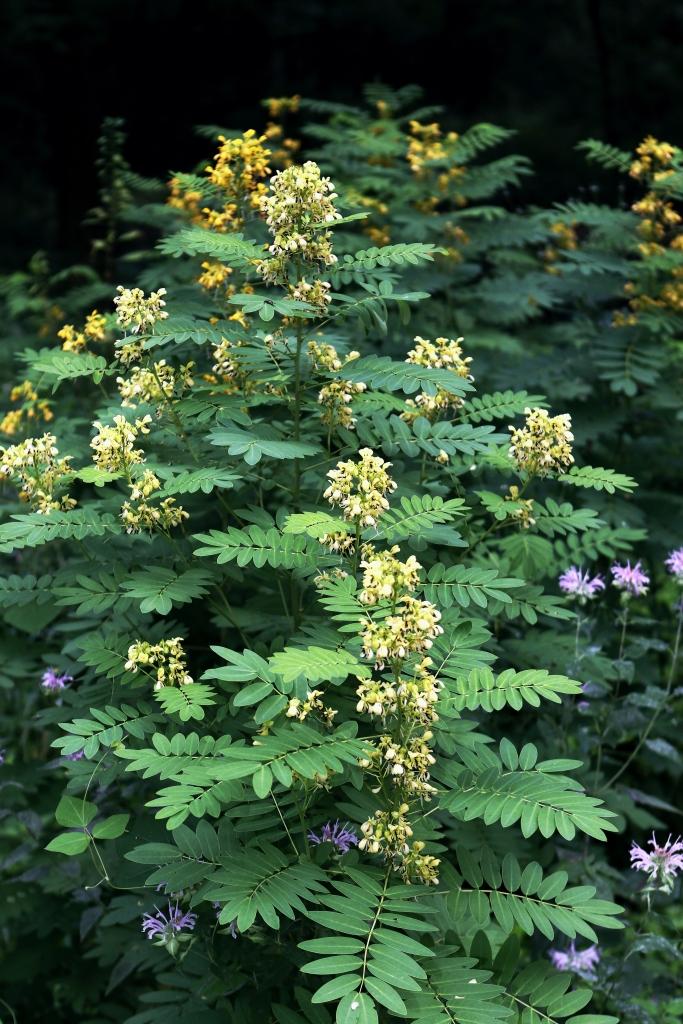 Plante de séné américain avec fleurs jaunes