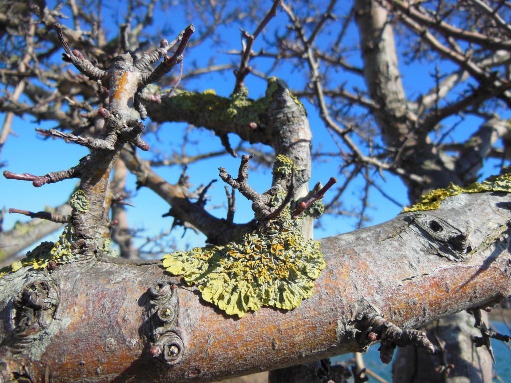Lichen sur une branche de pommier.