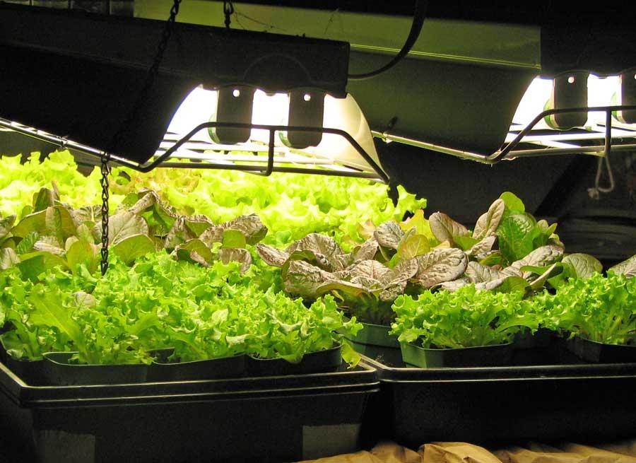 Salade cultivée sous une lampe fluorescente
