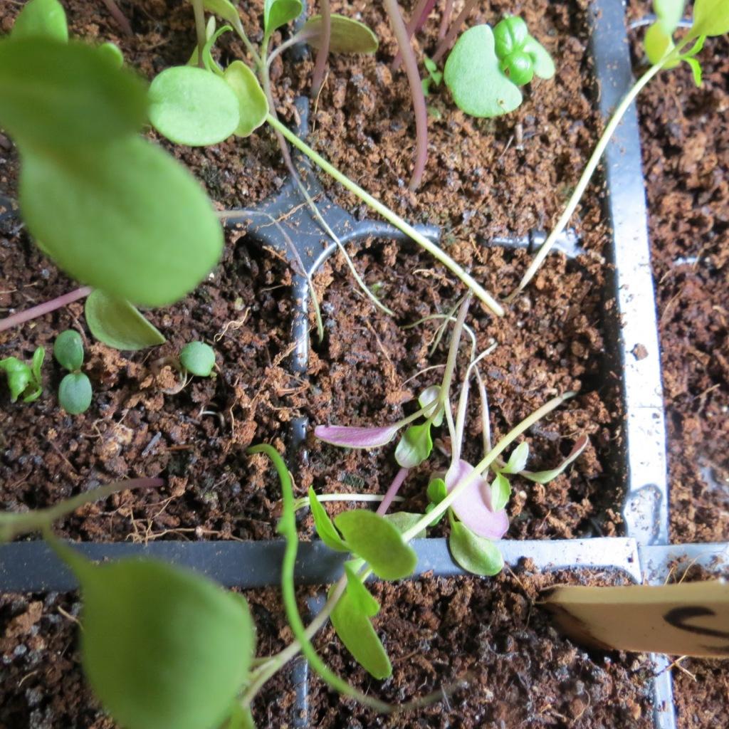 Semis fauchés par la fonte des semis.