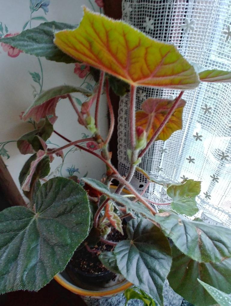 Bégonia à feuilles d'éléphant (B. scharfii)