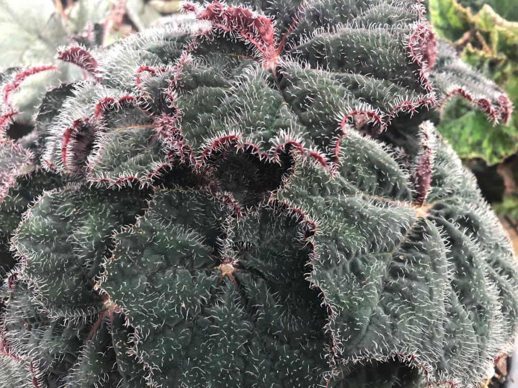 Begonia 'Bill Morris'