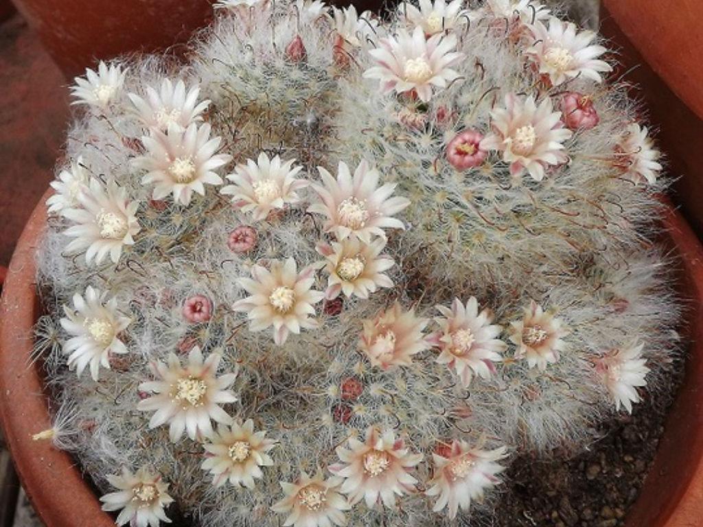 Cactus poudrier (Mammillaria bocasana)