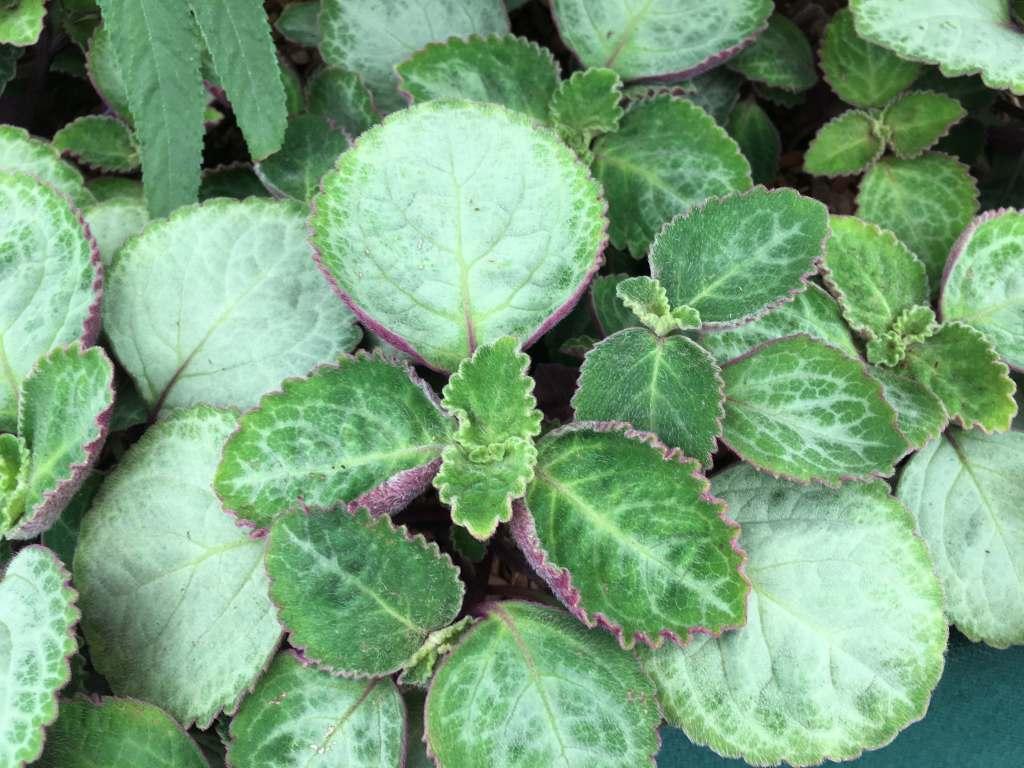 Plectranthe d'Oertendahl 'Uvongo' (P. oertendahlii 'Uvongo').