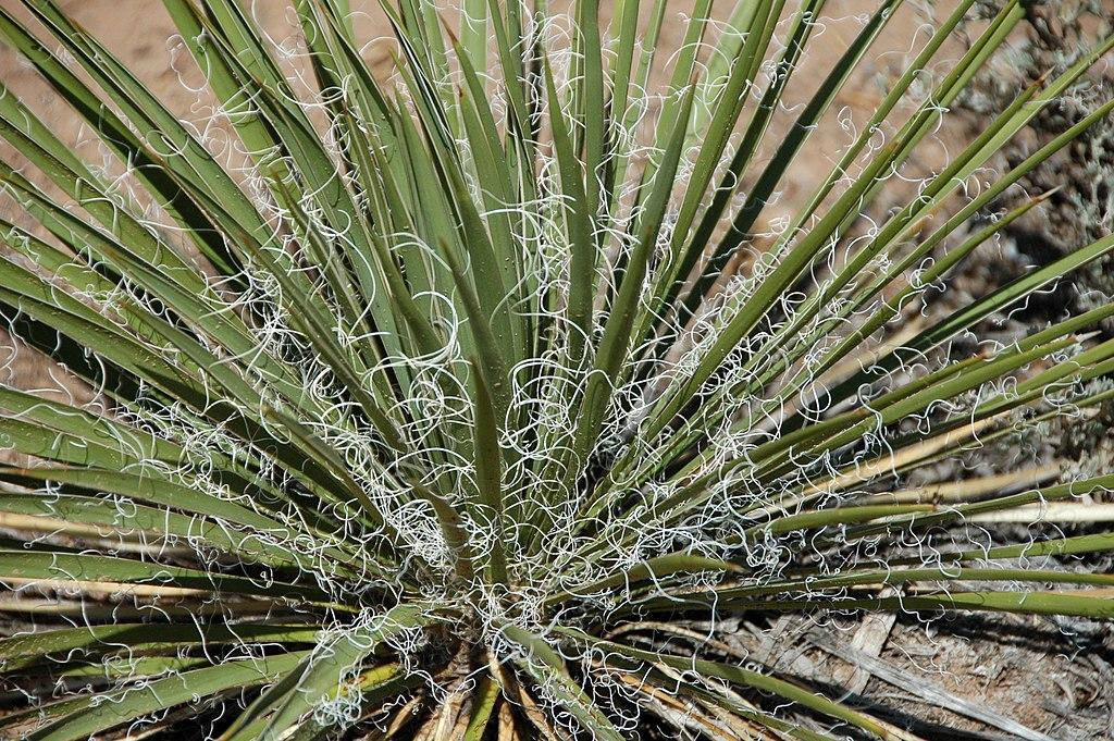 yucca glauque covert de fils