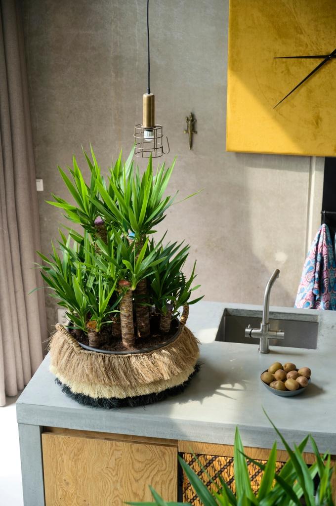 Plusieurs yucca sans épine dans un pot bas et fibreux