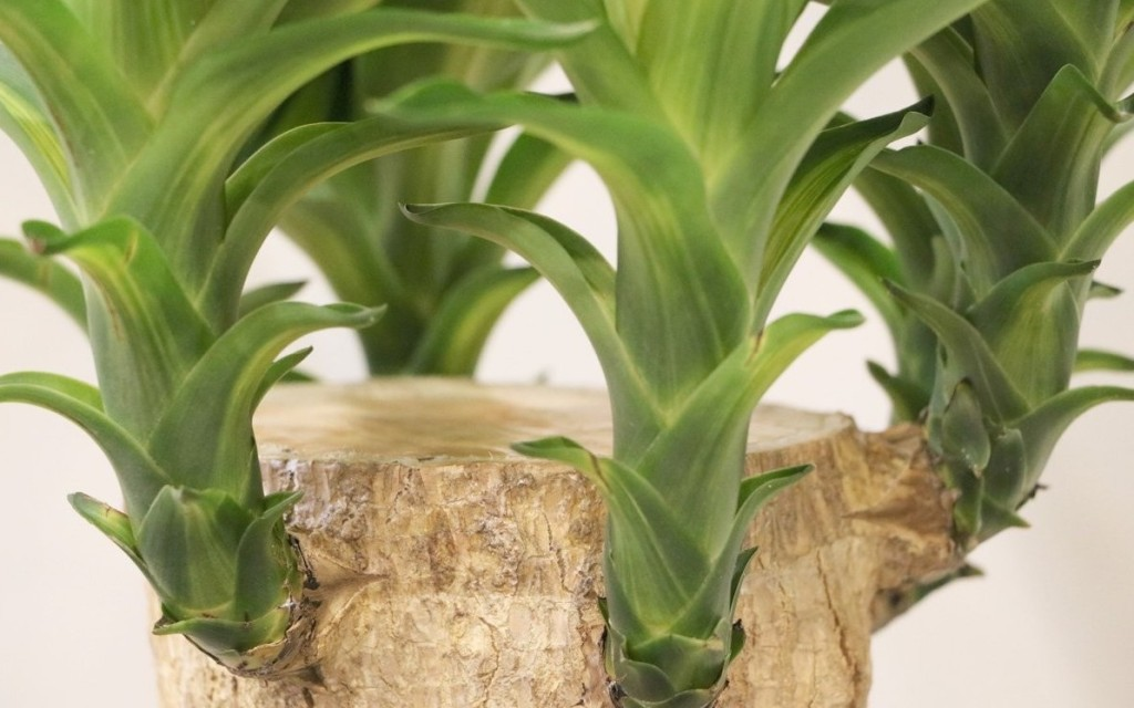 Yucca sans épine à tête couverte de cire.