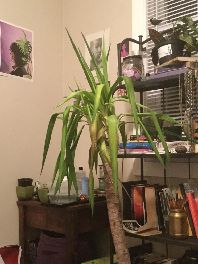 yucca sans épine pâle et étiolé