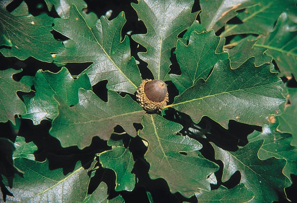 Gros plan de feuilles et d'un gland de chêne à gros fruits