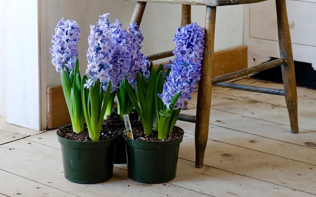 Pots de jacinthes bleues