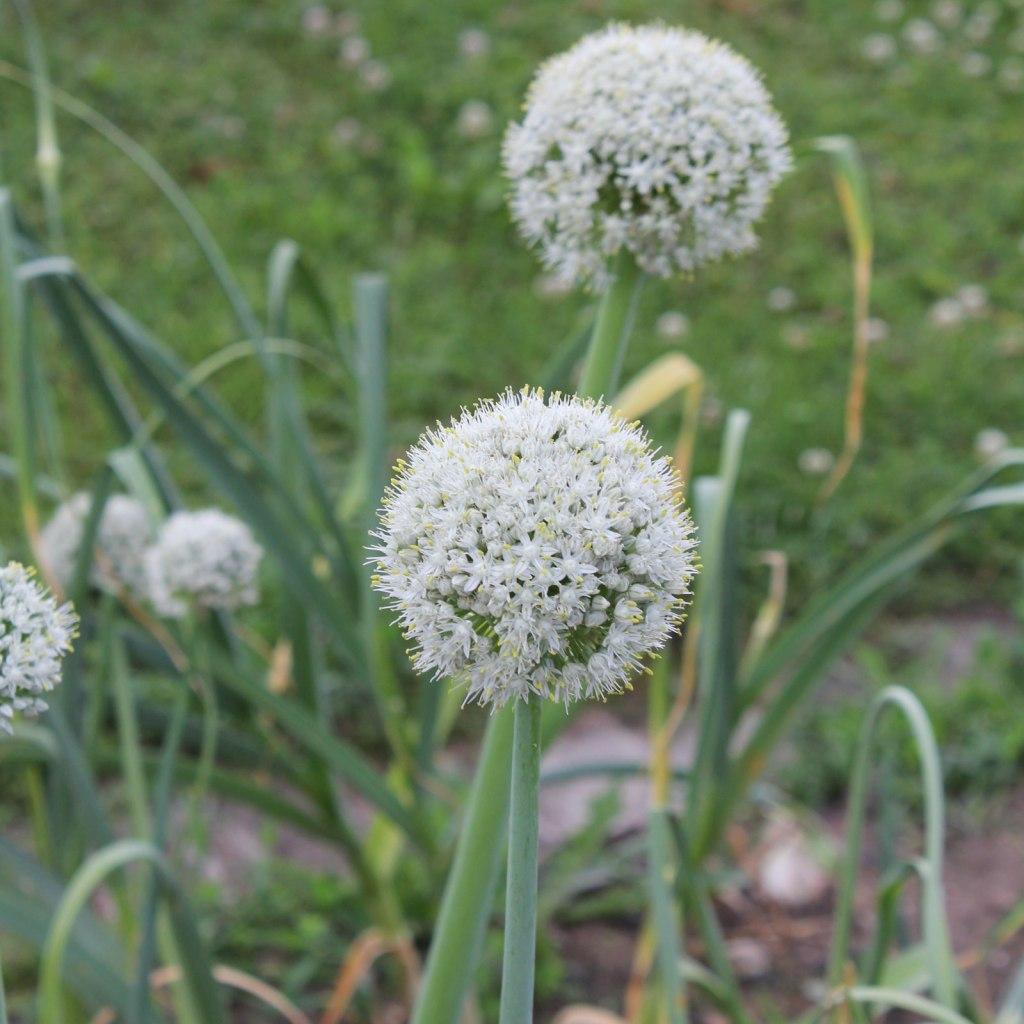 Oignon avec boule de fleurs blanches
