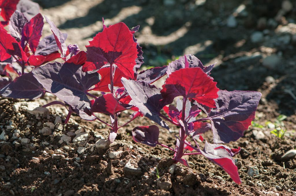 Arroche à feuilles rouges