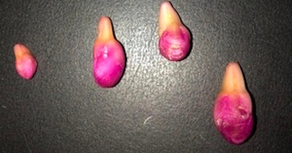 Boutons floraux tombés d'un cactus de Noël