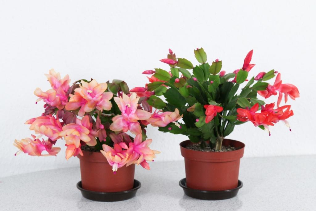 Deux cactus de Noël en fleurs