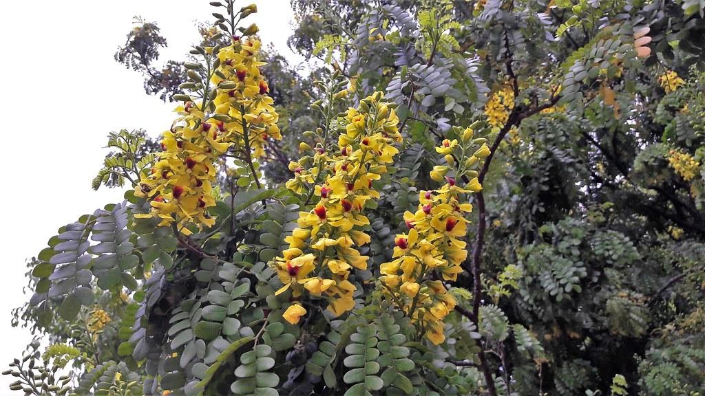 Bois-brésil en fleurs, fleurs jaunes