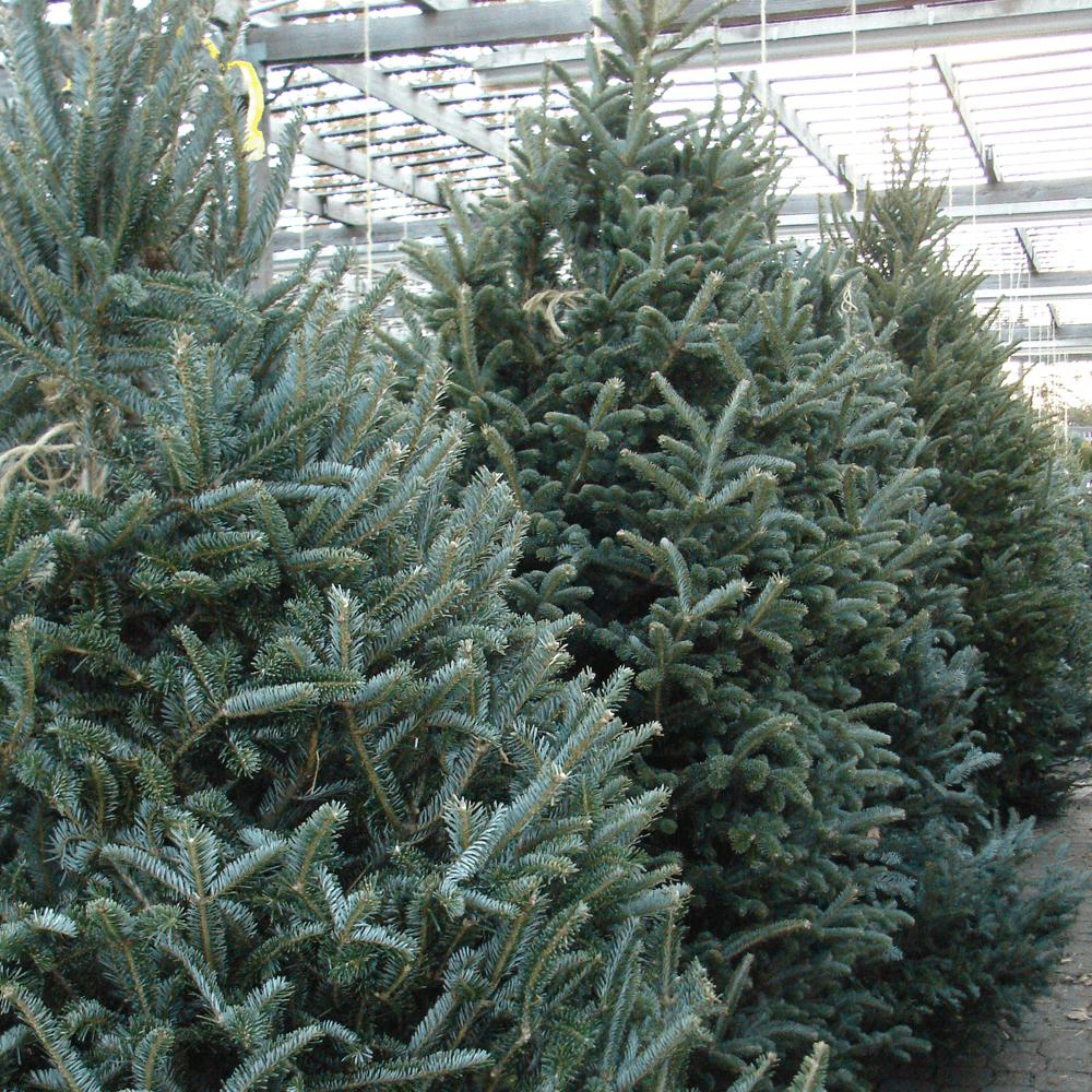 Sapins de Fraser (Abies fraseri) en vente à Noël.