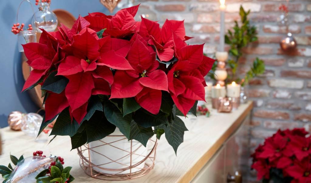 Poinsettia rouge en pot sur un comptoir