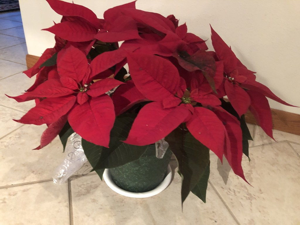 Poinsettia rouge en pot