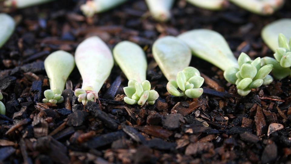 Boutures de feuilles d'echevéria.