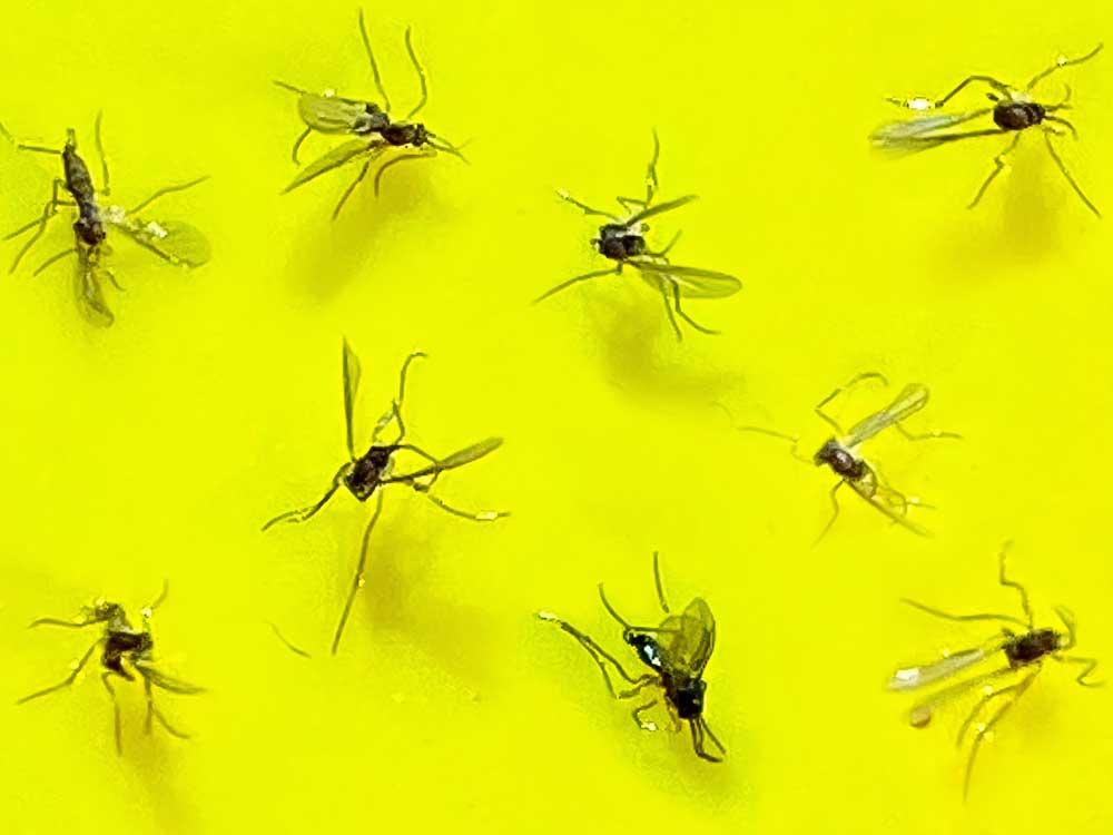 Mouches noires collées sur un piège jaune