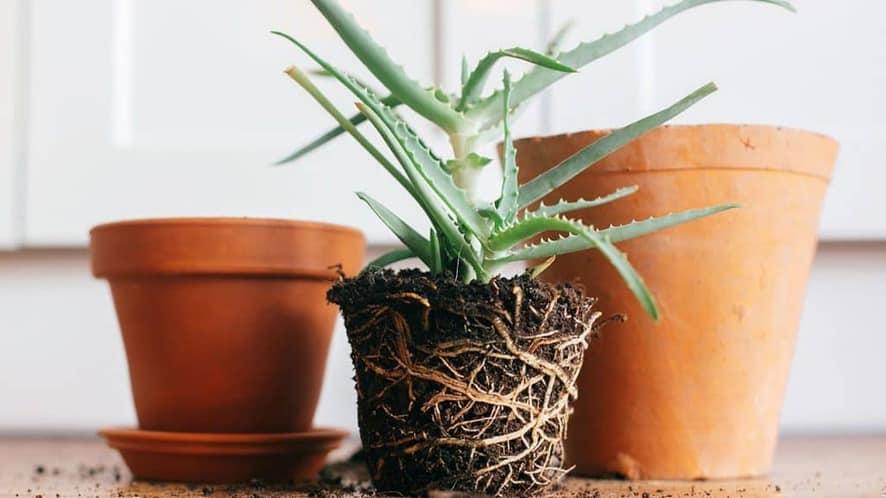 Plante enlevé d'un petit pot et prête pour un pot gros grand.