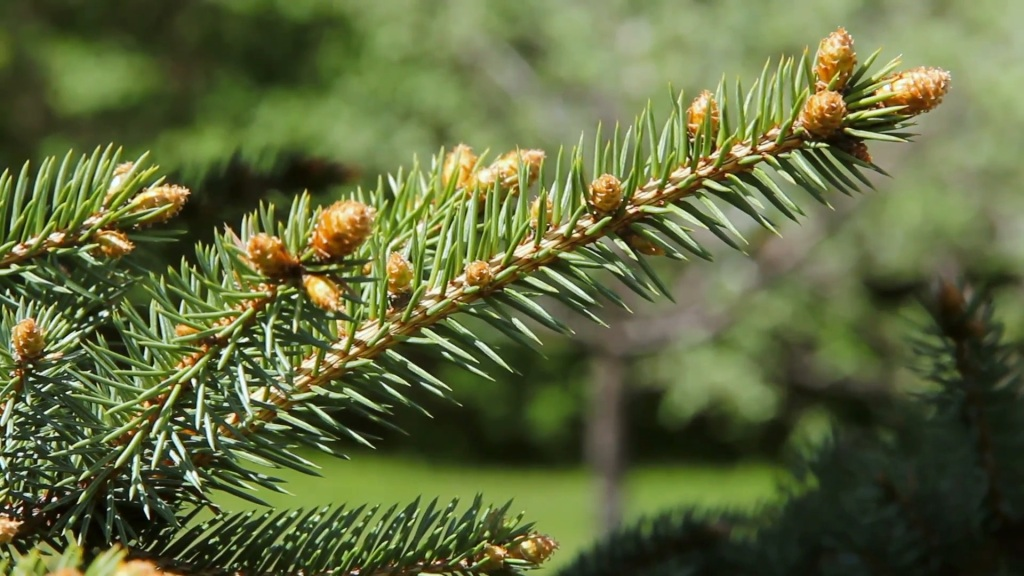 Branche d'épinette