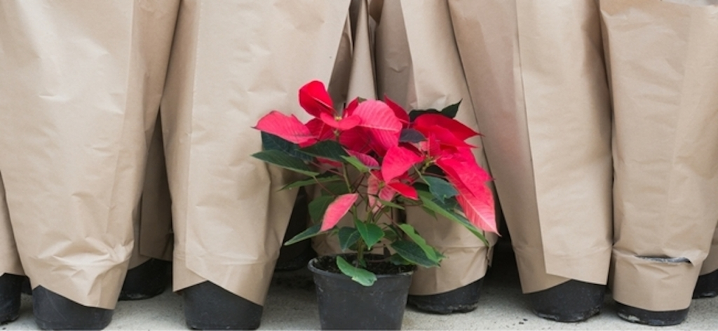 Poinsettia surrounded by plants in paper sleeves for transport.