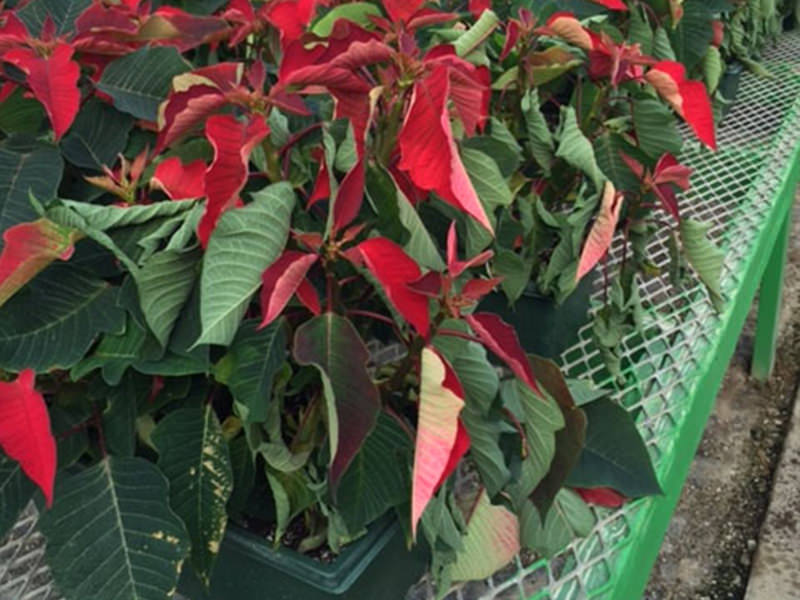 Wilted poinsettia suffering from rot.