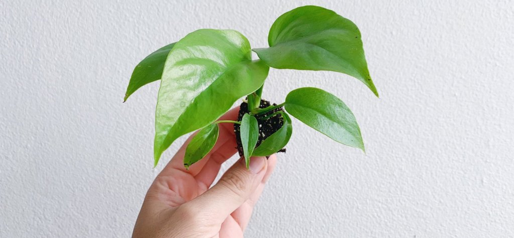 rhapidophora très jeune, sans perforations